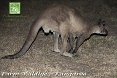 chase-farm-wildlife-kangaroo-600