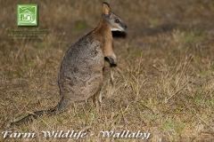 farm-wildlife-wallaby