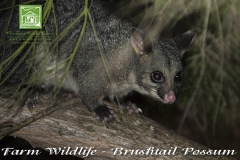 flinders-chase-farm-wildlife-possum2