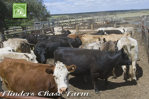chase-farm-cattle-600