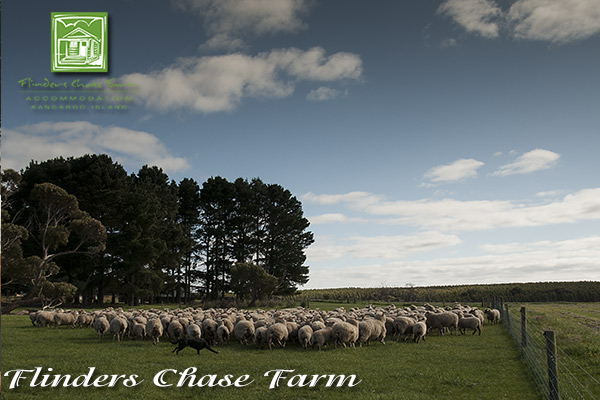 flinders-chase-farm-sheep-paddock