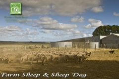 chase-farm-with-sheep-dog-600
