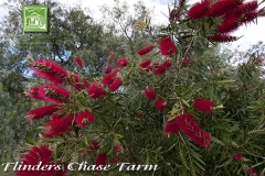 flinders-chase-farm-bottle-brush-600