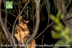 flinders-chase-farm-wildlife-possum