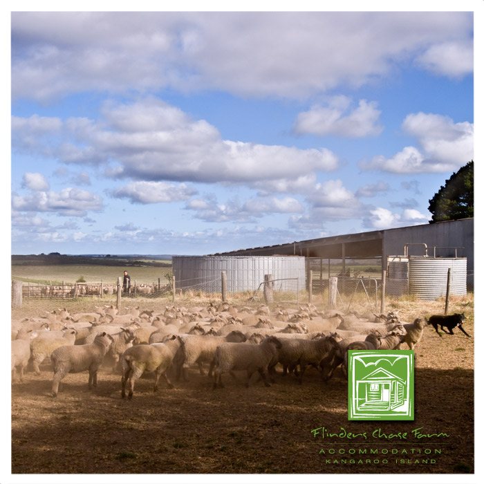 Sheep in the yards at Flinders Chase Farm Kangaroo Island
